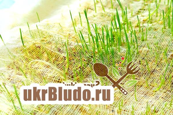 Фото - як проростити пшеницю
