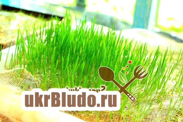 Фото - проростити пшеницю в домашніх умовах